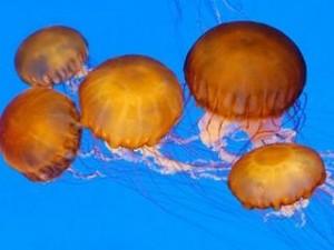 MedJelly, una app que localiza medusas en tiempo real